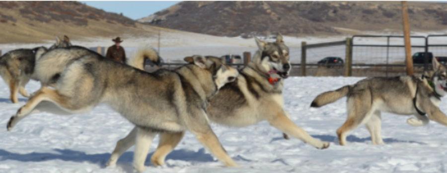 Rollo, Northern Inuit, Outlander dog