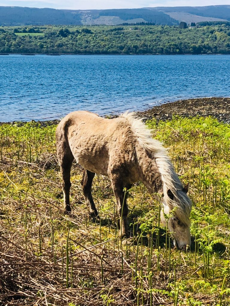 top 6 things to do on Arran, Wild Eriskay pony