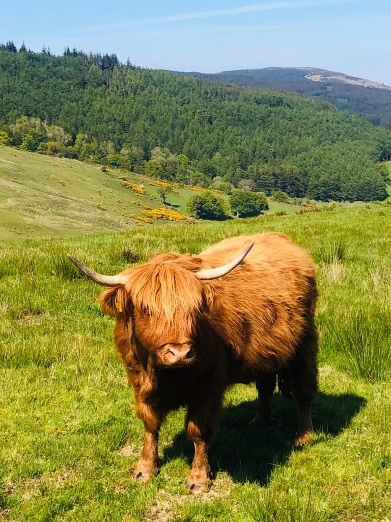 top 6 things to do on Arran, highland koo